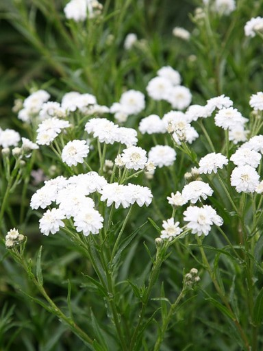 Yarrow - Achillea ptarmica Noblessa Seed to grow gorgeous white filler flower or bedding plants.