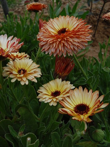 Calendula Strawberry Blonde