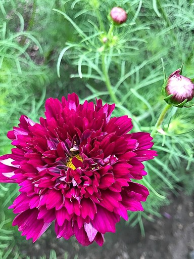 Cosmos Double Click Cranberries Seeds