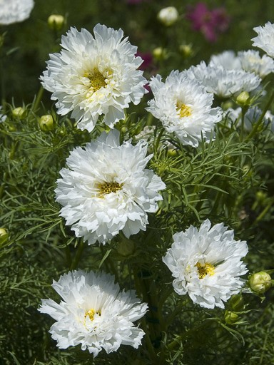 Cosmos Double Click Snow Puff Seeds