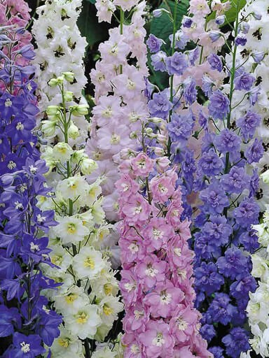 Delphinium Excalibur Mix Seeds