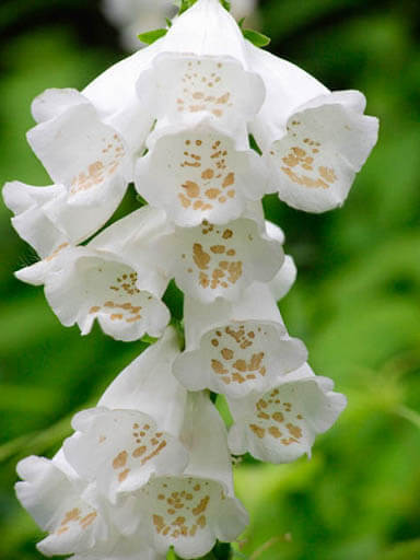 Camelot White - Pelleted (F1) Digitalis Seeds