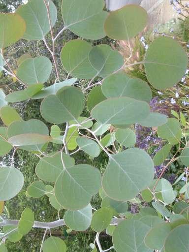 Eucalyptus polyanthemos Seeds