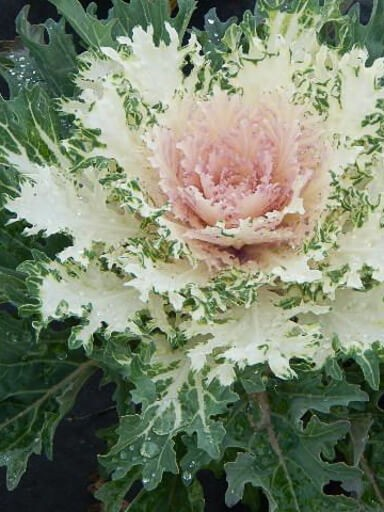 Flowering Kale Coral Prince White
