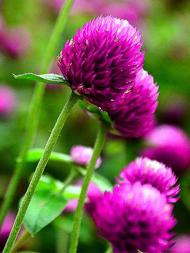 Gomphrena globosa QIS Purple Seeds