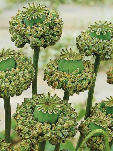 Poppy Hens and Chicks