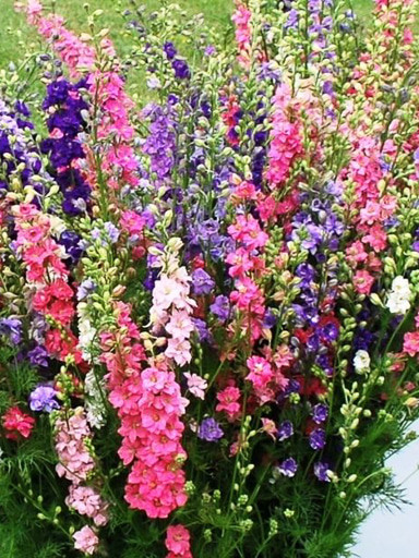 Larkspur Messenger Mix