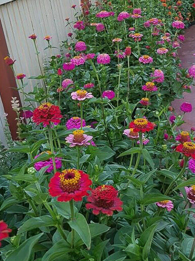 Lilliput Choice Mix Zinnia Seeds