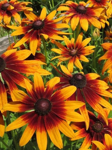 Rudbeckia hirta Chocolate Orange