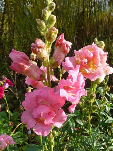 Snapdragon Madame Butterfly Rose