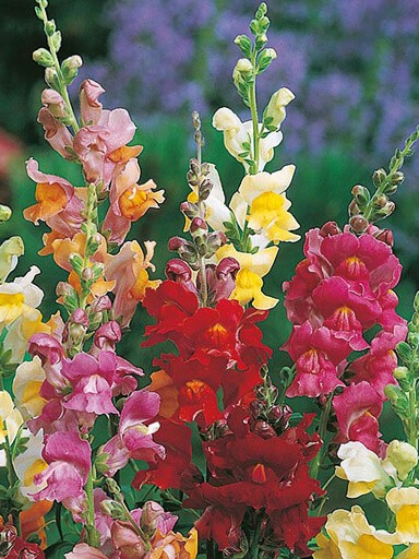Snapdragon Snappy Mix