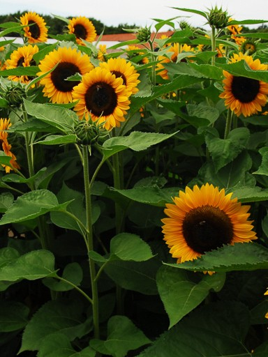 Sunflower Sunrich DMR Orange - Helianthus