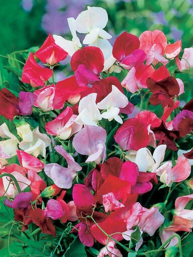 Sweet Pea Elegance Mix