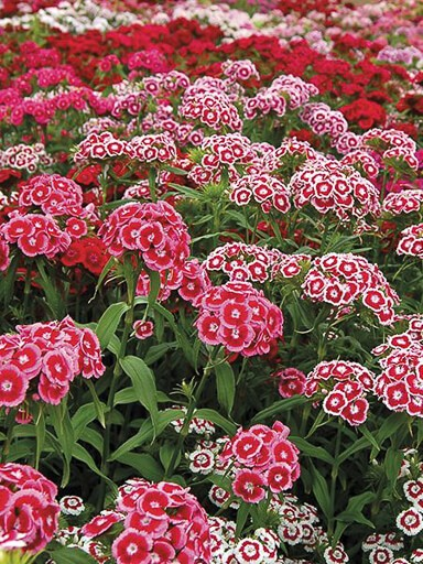 Sweet William Electron Mix Seeds - Dianthus barbatus