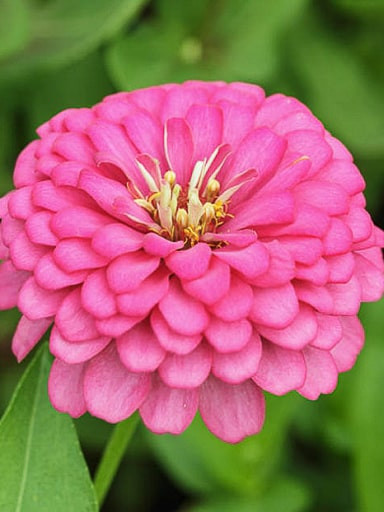 Benary's Giant Bright Pink Zinnia Seeds