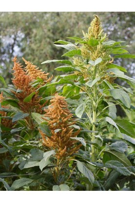 Amaranthus Autumn Pallete