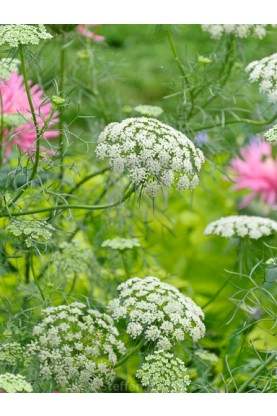 Ammi majus Queen of Africa