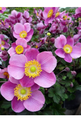 Anemone japonica Fall Charm Seeds