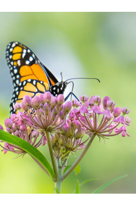 Asclepias incarnata Monarch Rose - Butterfly Milkweed