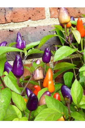 Ornamental Pepper Bolivian Rainbow