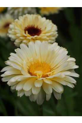Calendula Snow Princess