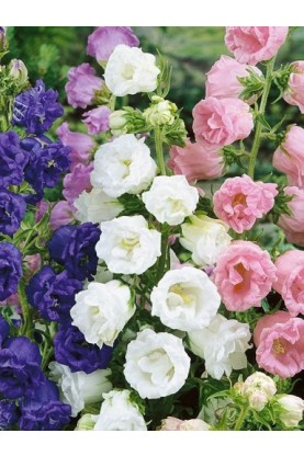 Campanula medium Double Mix - Bellflower