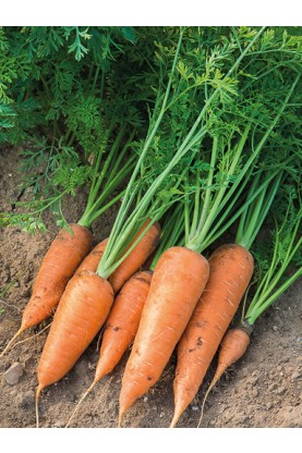 Chantenay Red Core Carrots