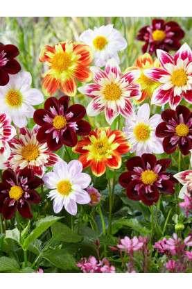 Dahlia Collarette Daisy Mix Seeds