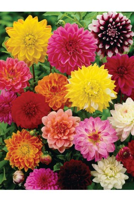 Dahlia Showpiece Double Mix