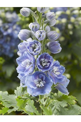 Delphinium Magic Fountain Lavender with White Bee