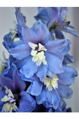 Delphinium Magic Fountain Mid Blue with White Bee