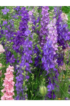 Delphinium Magic Fountain Mix