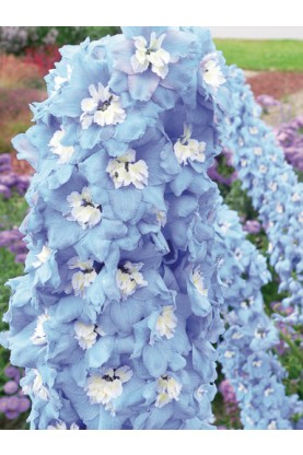 Delphinium Magic Fountain Sky Blue with White Bee