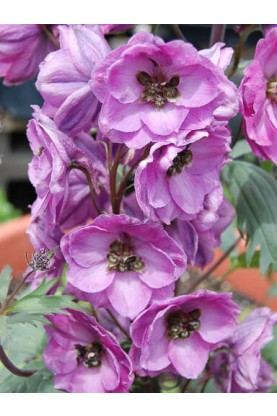 Delphinium Pacific Giant Astolat