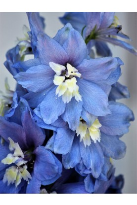 Delphinium Pacific Giant Blue Bird