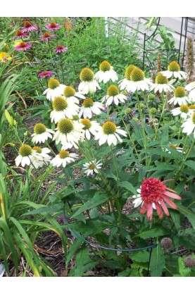 Echinacea purpurea Pow Wow White
