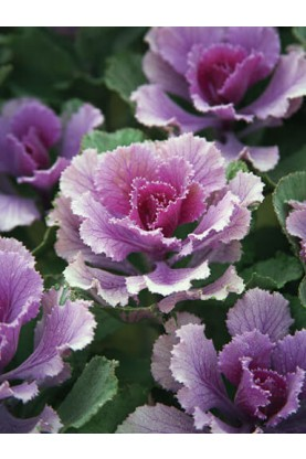 Flowering Kale Flare Rose