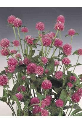 Gomphrena globosa QIS Rose Seeds
