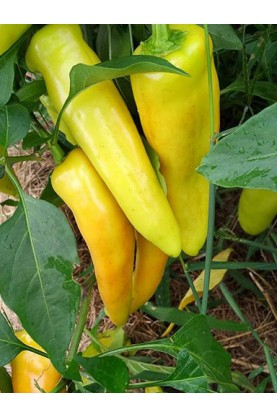 Hungarian Sweet Wax Pepper
