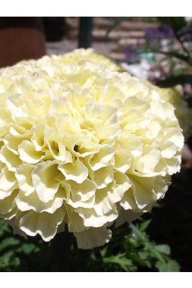 Marigold-French Alumina Vanilla Cream