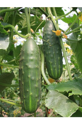 Marketmore 76 Cucumbers