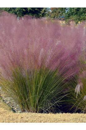 Muhlenbergia capillaris Seeds - Pink Cloud Grass
