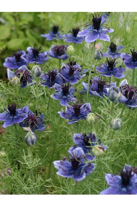 Nigella Hispanica Spanish