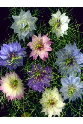 Nigella Miss Jekyll Mix