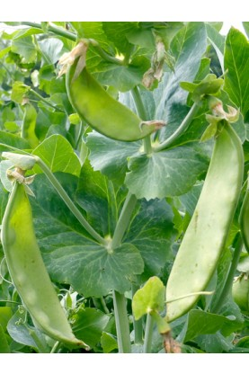 Oregon Sugar Pod II Peas