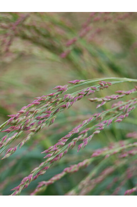 Panicum amarum Seeds - Switchgrass