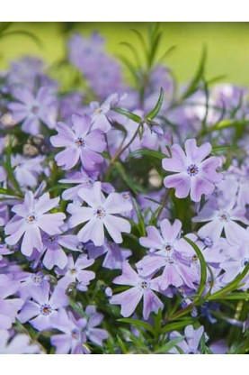 Phlox Summer-Long Light Blue