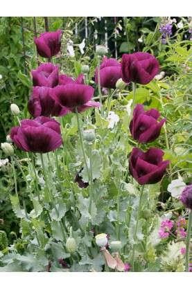 Poppy Lauren's Grape Seeds
