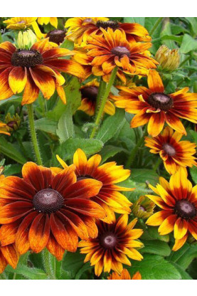 Rudbeckia hirta Autumn Colors Seeds