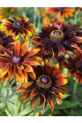 Rudbeckia hirta Autumn Forest Seeds